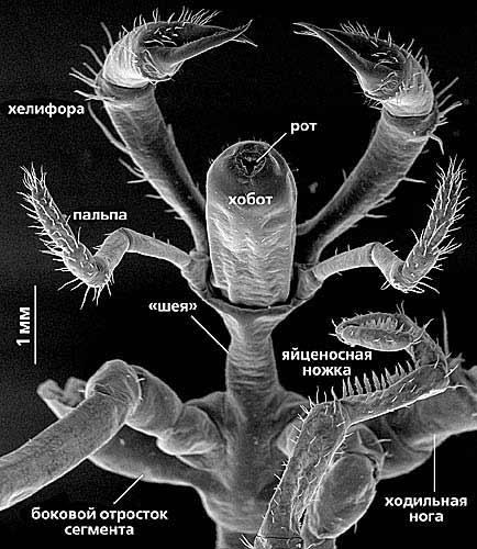 Схема строения морских пауков
